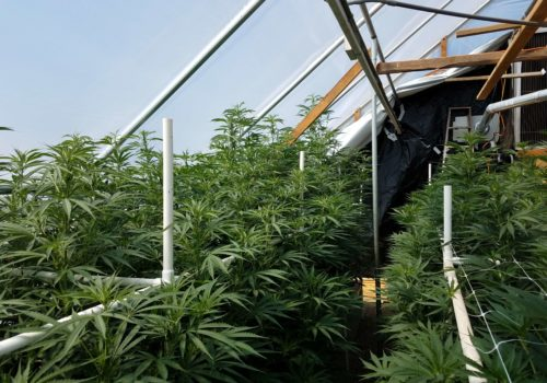 Cannabis Industry: Predicting the Future with Artificial Intelligence (AI)