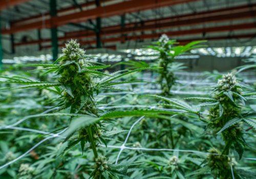 Oklahoma Cannabis Flower Harvest