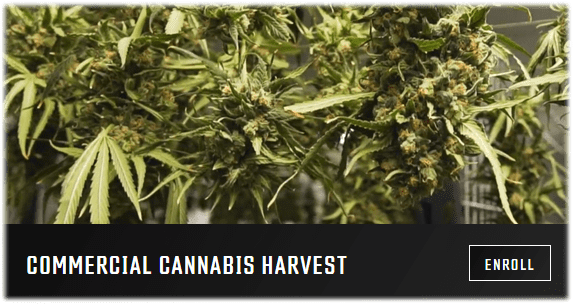commercial-cannabis-harvest-growers-network-university-free-online-course